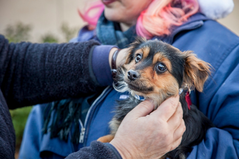 A puppy receives a collar before being crated
