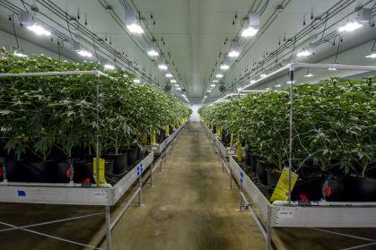 Legal marijuana operation